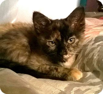 Domestic Shorthair Kitten for adoption in Houston, Texas - Vicky