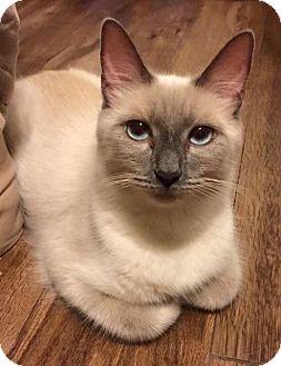 Siamese Cat for adoption in Columbus, Ohio - Zoey