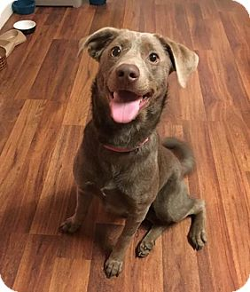 Labrador Retriever/Weimaraner Mix Dog for adoption in Wilmington, Delaware - Ziva