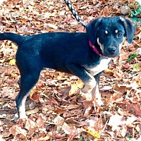 Adopt A Pet :: Willow (RBF) - Harrisonburg, VA