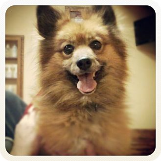Pomeranian/Sheltie, Shetland Sheepdog Mix Dog for adoption in Santa Ana, California - Forman