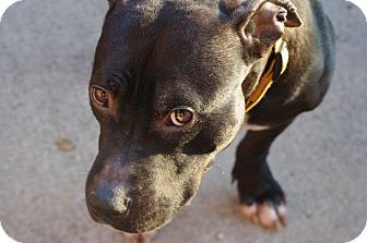 Staffordshire Bull Terrier Mix Dog for adoption in Reisterstown, Maryland - Oliver