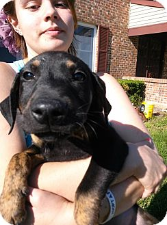 Doberman Pinscher Mix Puppy for adoption in South Jersey, New Jersey - Hercules