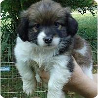 Adopt A Pet :: Robbie - Allentown, PA