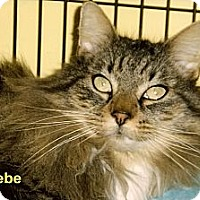 Adopt A Pet :: Phoebe - Medway, MA