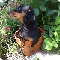 Adopt A Pet :: DAVIE DAWG - Portland, OR