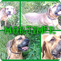 Adopt A Pet :: Mortimer - Tampa, FL