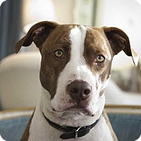 Adopt A Pet :: Bo (foster) - Portland, OR