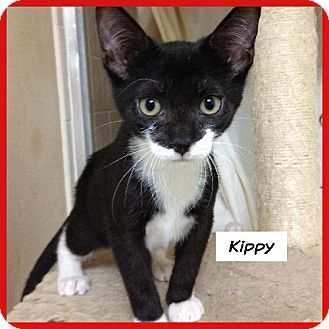 Domestic Shorthair Cat for adoption in Miami, Florida - Kippy