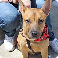 Adopt A Pet :: Max~puppy - Shrewsbury, NJ