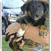 Adopt A Pet :: Bear needs love - Sacramento, CA