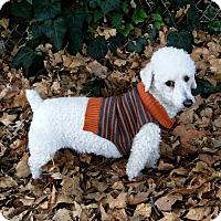 Adopt A Pet :: Bear - Walnut Creek, CA