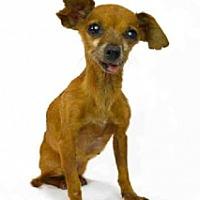 Adopt A Pet :: Telsa - Mesa, AZ