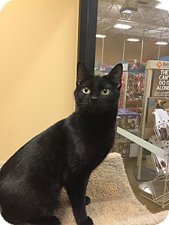 Domestic Shorthair Cat for adoption in Irwin, Pennsylvania - Nipper