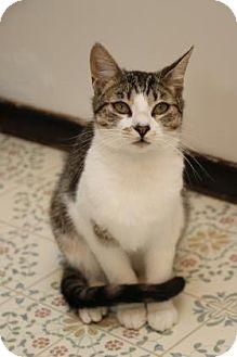 Domestic Shorthair Kitten for adoption in Yucaipa, California - Oscar