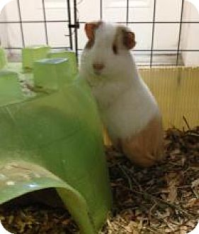 Guinea Pig for adoption in Quilcene, Washington - Chuck