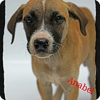 Adopt A Pet :: Anabel - Old Saybrook, CT