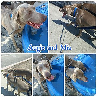 Weimaraner Dog for adoption in Sun Valley, California - Auggie & Mia