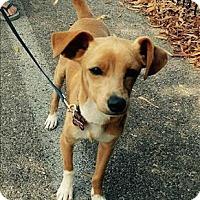 Adopt A Pet :: Loki - Encino, CA