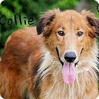 Adopt A Pet :: Collie - Joliet, IL