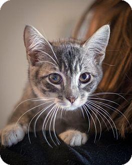 Domestic Shorthair Kitten for adoption in St Helena, California - Trix