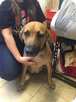 Catahoula Leopard Dog/German Shepherd Dog Mix Dog for adoption in Matawan, New Jersey - Olivia