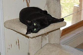 Domestic Shorthair Cat for adoption in Alpharetta, Georgia - Hope