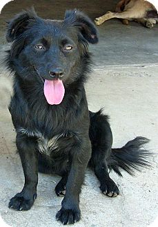 Spaniel (Unknown Type)/Belgian Shepherd Mix Dog for adoption in Poway, California - Dory
