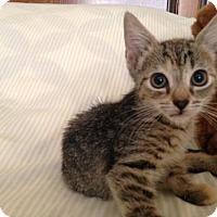 Adopt A Pet :: Audrey - Jenkintown, PA