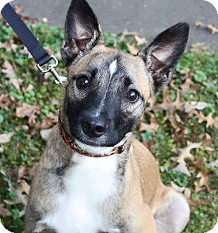 Belgian Malinois Mix Dog for adoption in Springfield, Missouri - Clyde