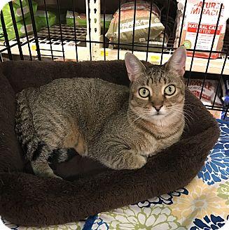 Domestic Shorthair Cat for adoption in Barrington Hills, Illinois - Macy