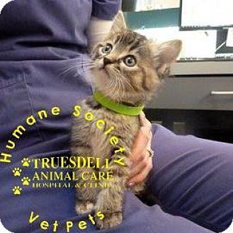 Domestic Shorthair Kitten for adoption in Janesville, Wisconsin - Mistletoe