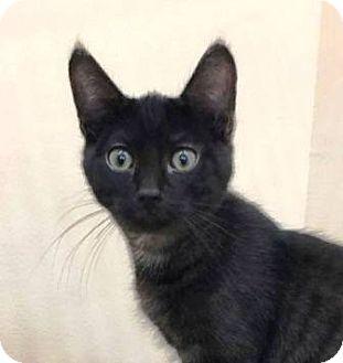Domestic Shorthair Cat for adoption in Walworth, New York - Boomer