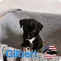 Adopt A Pet :: Gilbert - Westminster, CO