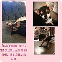 Adopt A Pet :: Josephine - Renton, WA