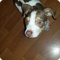 Adopt A Pet :: Fiddler - Houston, TX