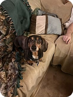Dachshund Mix Dog for adoption in Marcellus, Michigan - Winston