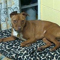 Adopt A Pet :: Star - Ellijay, GA