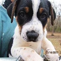 Adopt A Pet :: BLUE - Lincolndale, NY