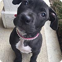 Adopt A Pet :: Amelia - Indianapolis, IN