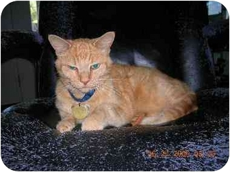 Polydactyl/Hemingway Cat for adoption in Union, South Carolina - Morris