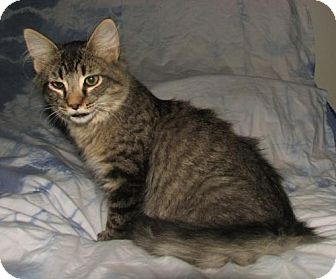Domestic Shorthair Kitten for adoption in Norwich, New York - Homer