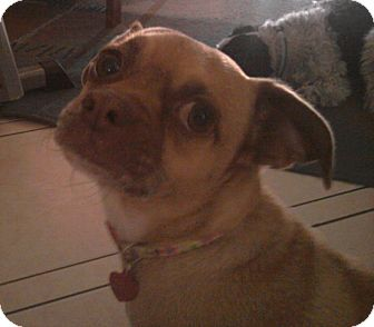 Pug/Chihuahua Mix Dog for adoption in Gilbert, Arizona - D.O. Gee
