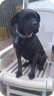 Boxer/Labrador Retriever Mix Dog for adoption in Phoenix, Arizona - Riley