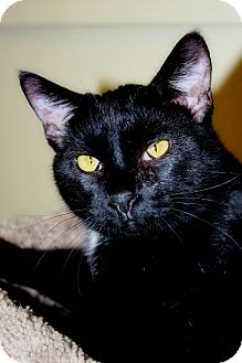 Domestic Shorthair Cat for adoption in Phoenix, Arizona - Pantera