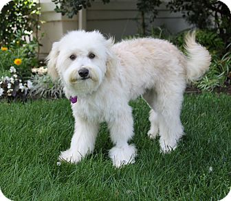 Toy poodle or Havanese ?