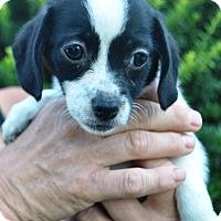 Adopt A Pet :: Tahlia - Phoenix, AZ