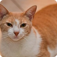 Domestic Shorthair Cat for adoption in Queens, New York - Lewis
