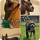 Adopt A Pet :: Tiny Tot (COURTESY POST)