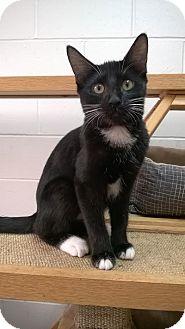Domestic Shorthair Kitten for adoption in Ozark, Alabama - Ava